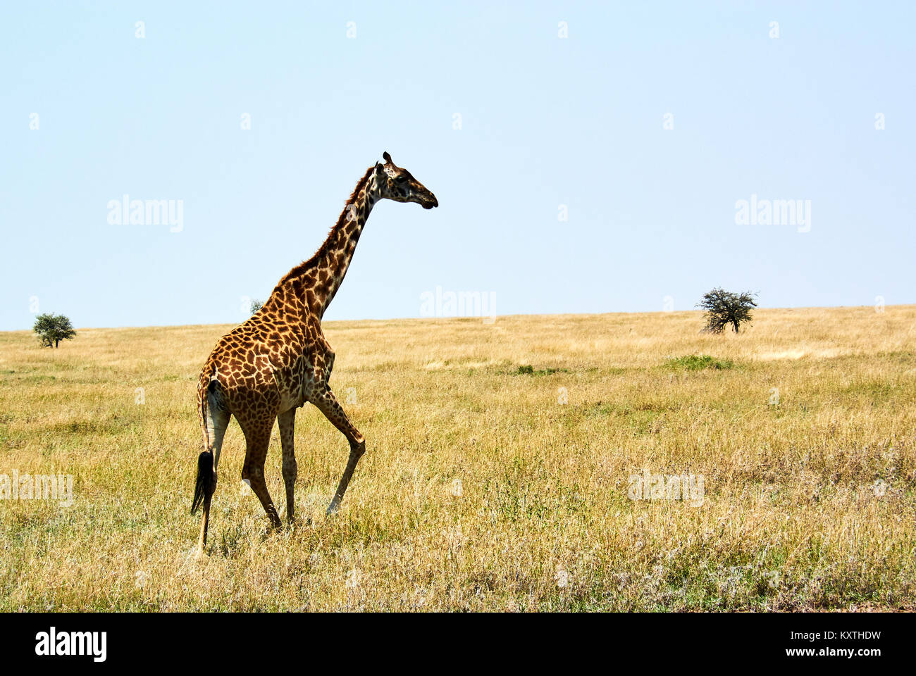 Twin giraffes in Tanzania Serengetti park with yellow grass and sunset - Stock Image