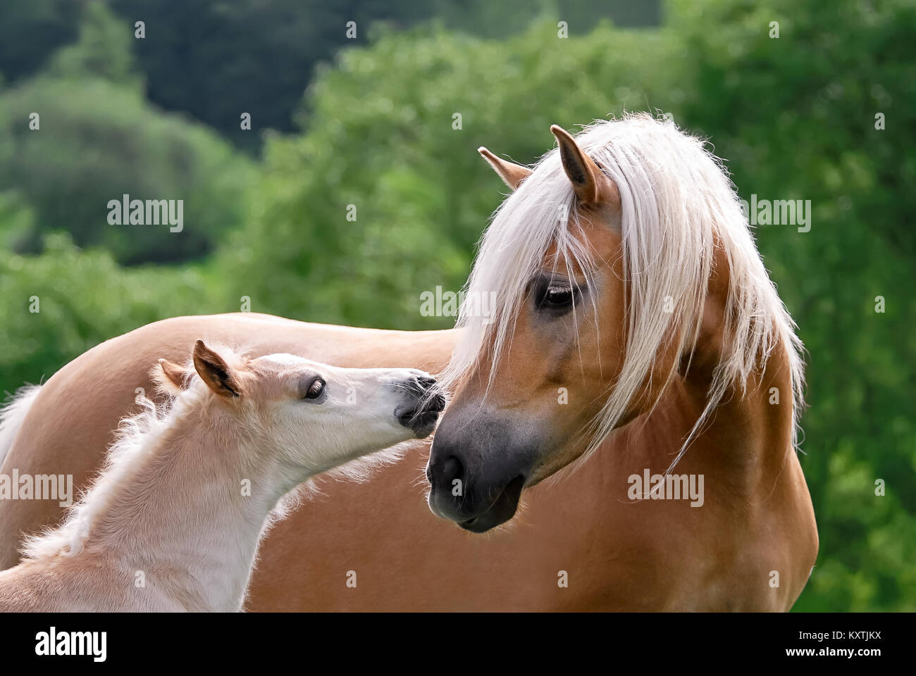 Haflinger horses, mare with foal side by side, cuddling, the cute baby avelignese pony confidently turns to its - Stock Image