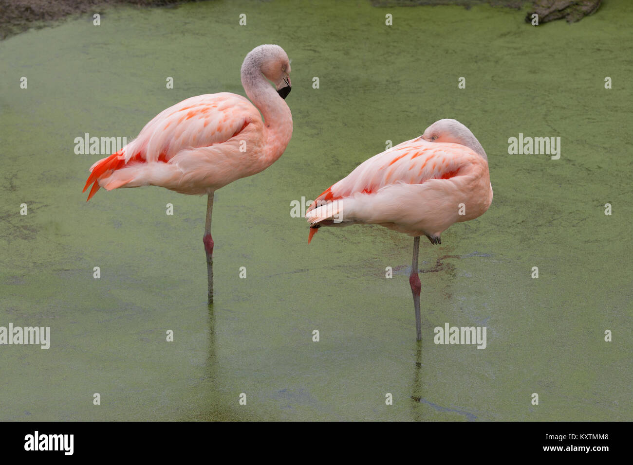 Chilean Flamingos Phoenicopterus chilensis.  Two sub-adult, immature birds, standing at rest, each on one leg or - Stock Image