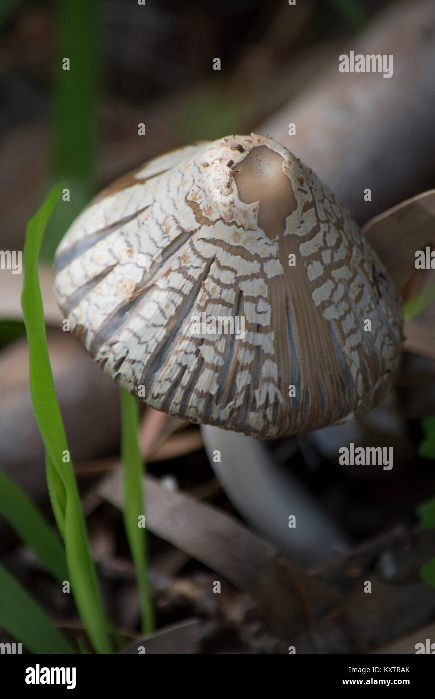 A mystical close-up view of a wild mushroom found in Australia and gives a detailed view of nature's perfection - Stock Image