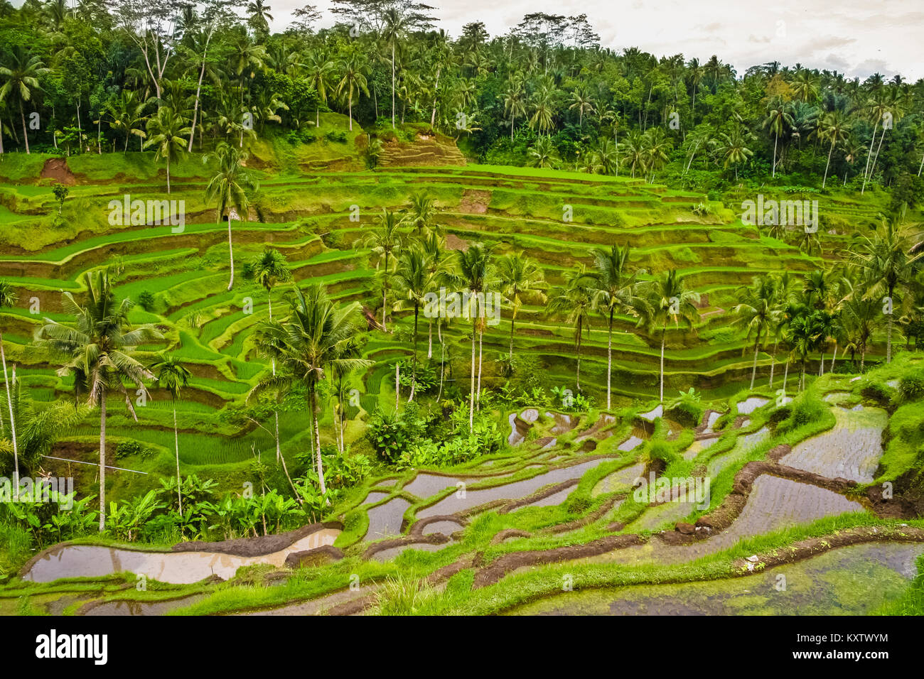 The Tegallalang subak rice terrace system in Ubud, Bali, Indonesia. - Stock Image