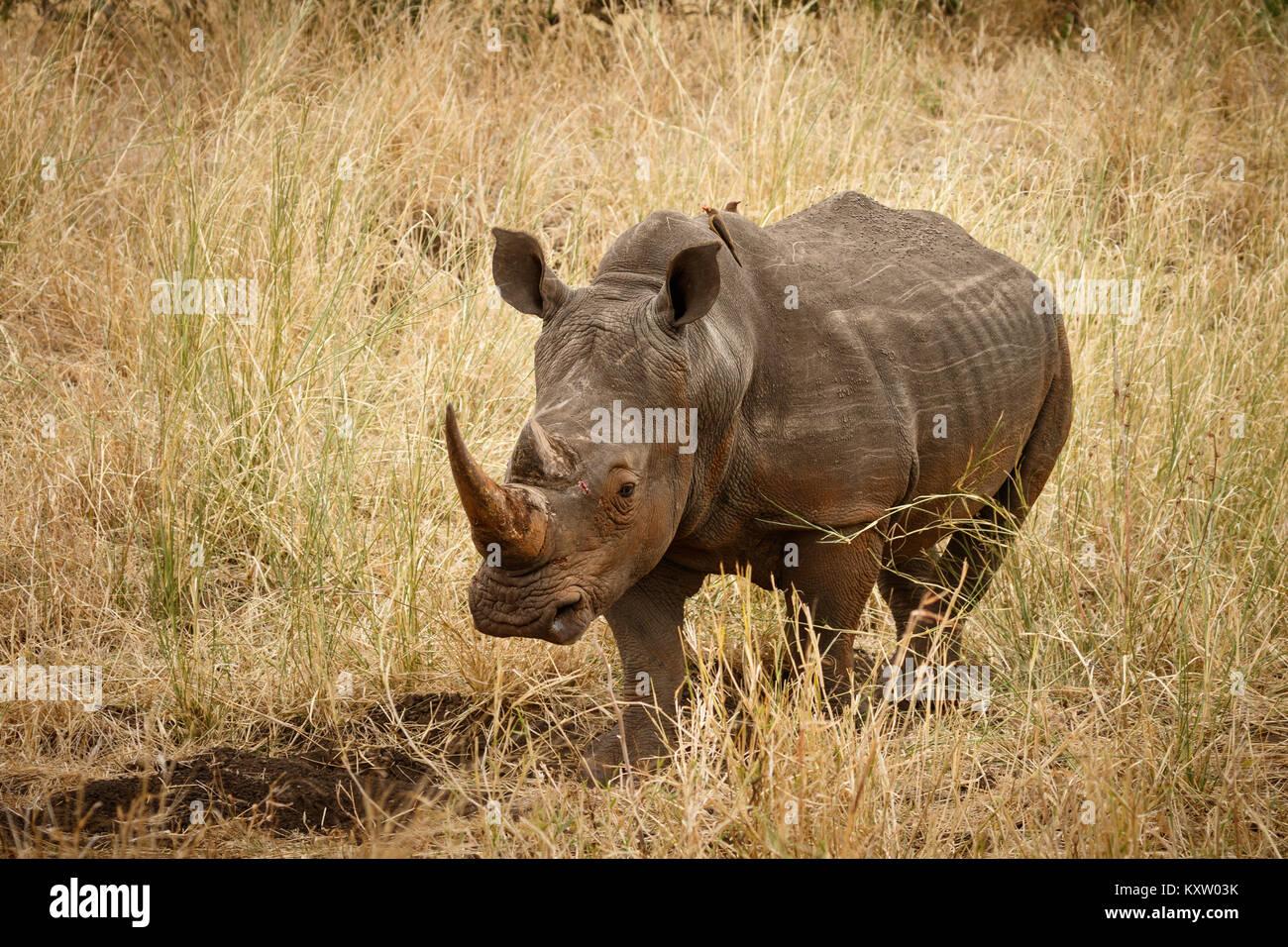 White Rhino in Grassland - Stock Image