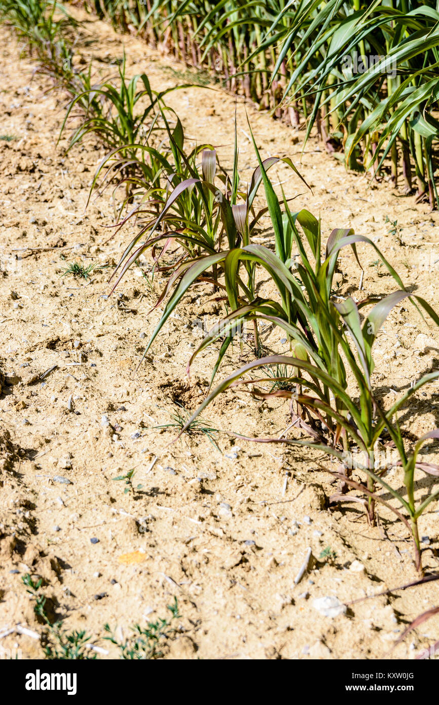 Poorly developed row of corn in a dry land. - Stock Image