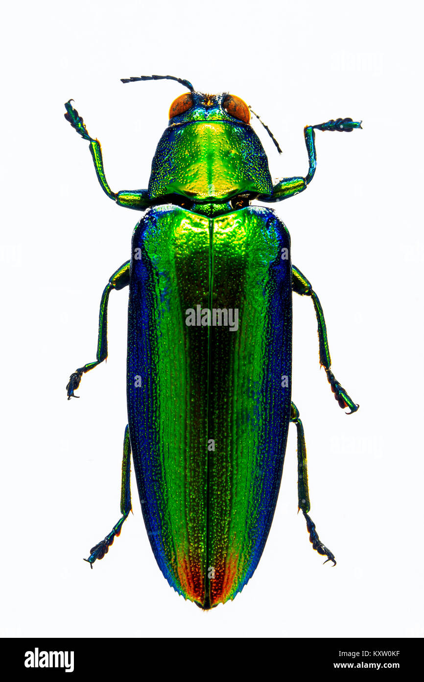 Malaysian Jewel Beetle in resin - Bali - Stock Image