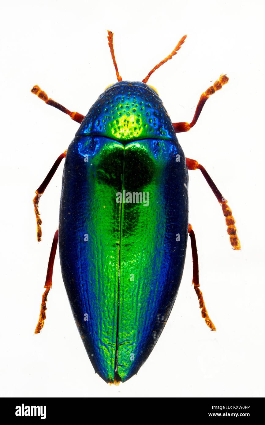 Green African Jewel Beetle in resin - Kenia - Stock Image
