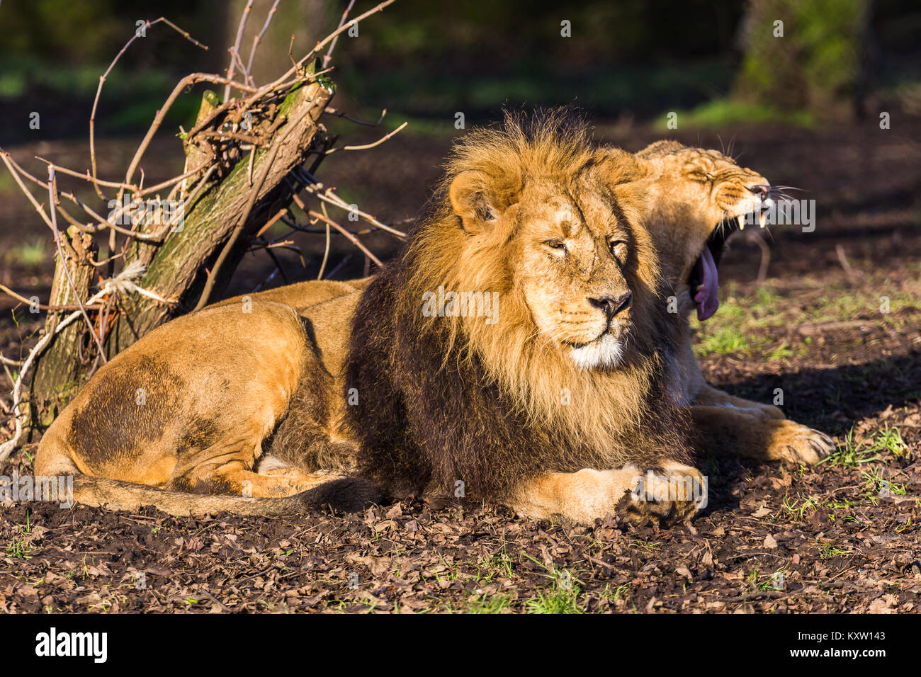 Asiatic lion pair laze in the early morning sunshine. - Stock Image