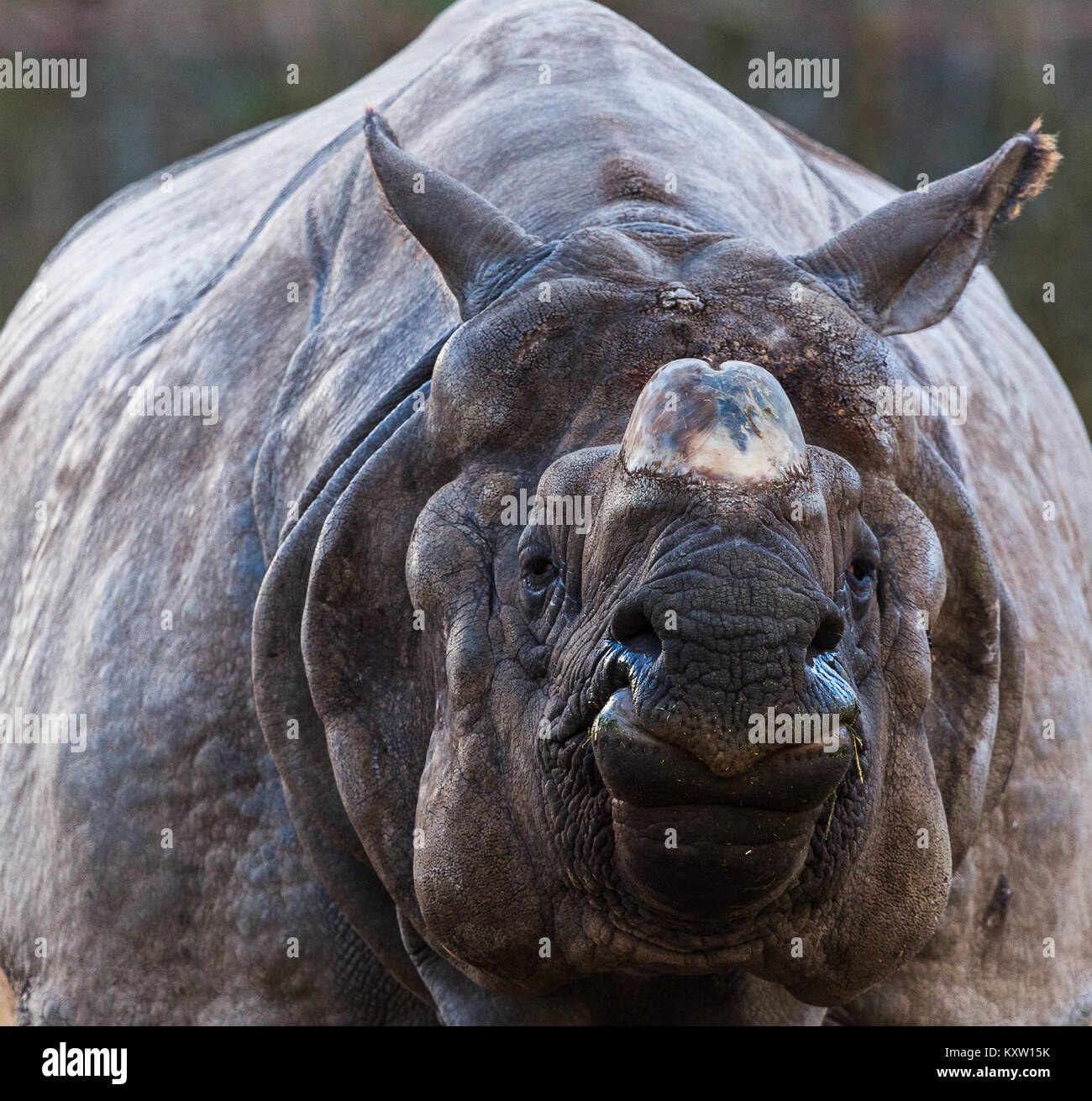 A greater one-horned rhinoceros fills the frame after feeding late one afternoon.  This is also known as the great - Stock Image