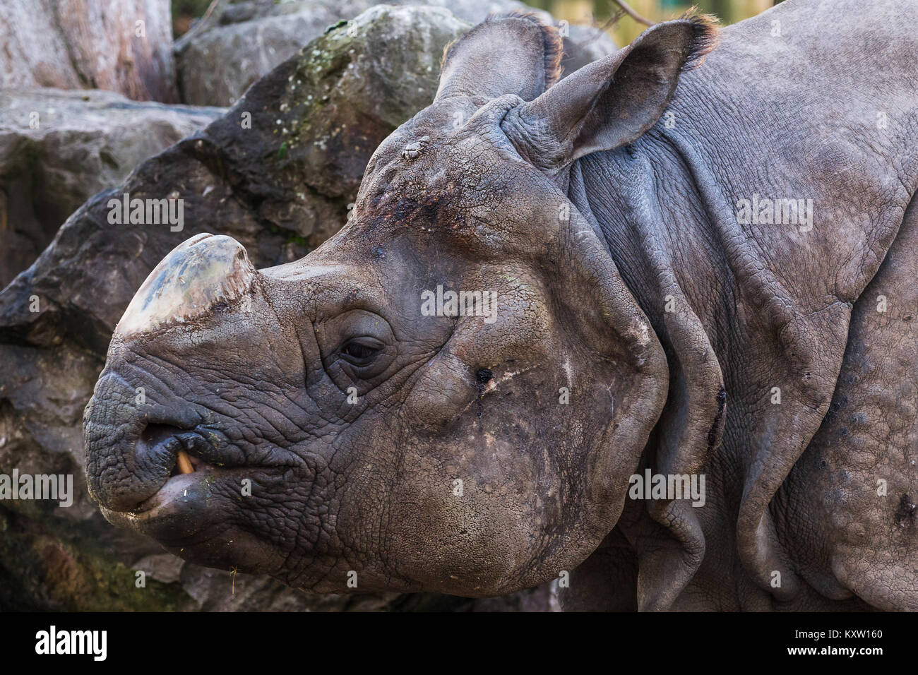 Side on view of a greater one-horned rhinoceros as it passes by. - Stock Image