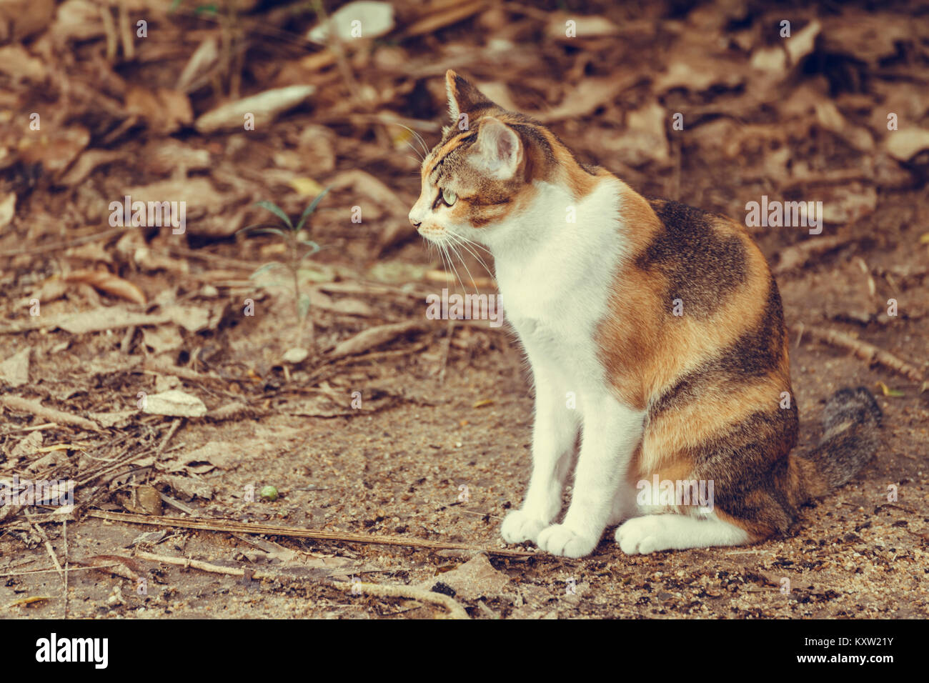 calico cat sitting and waiting on the leafy ground in the forest at summer time, warm tone photo - Stock Image