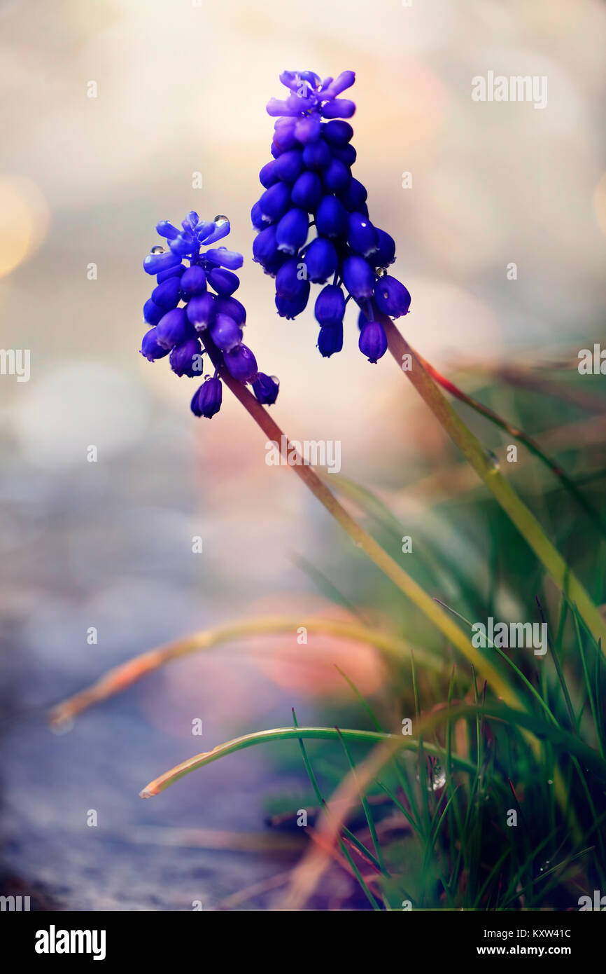 Closeup of wild blue flower, macro morning nature vertical background, colorful bokeh and shalow focus - Stock Image