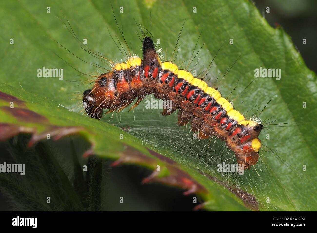 Grey Dagger moth caterpillar (Acronicta psi) resting on a bramble leaf. Cahir, Tipperary, Ireland. - Stock Image