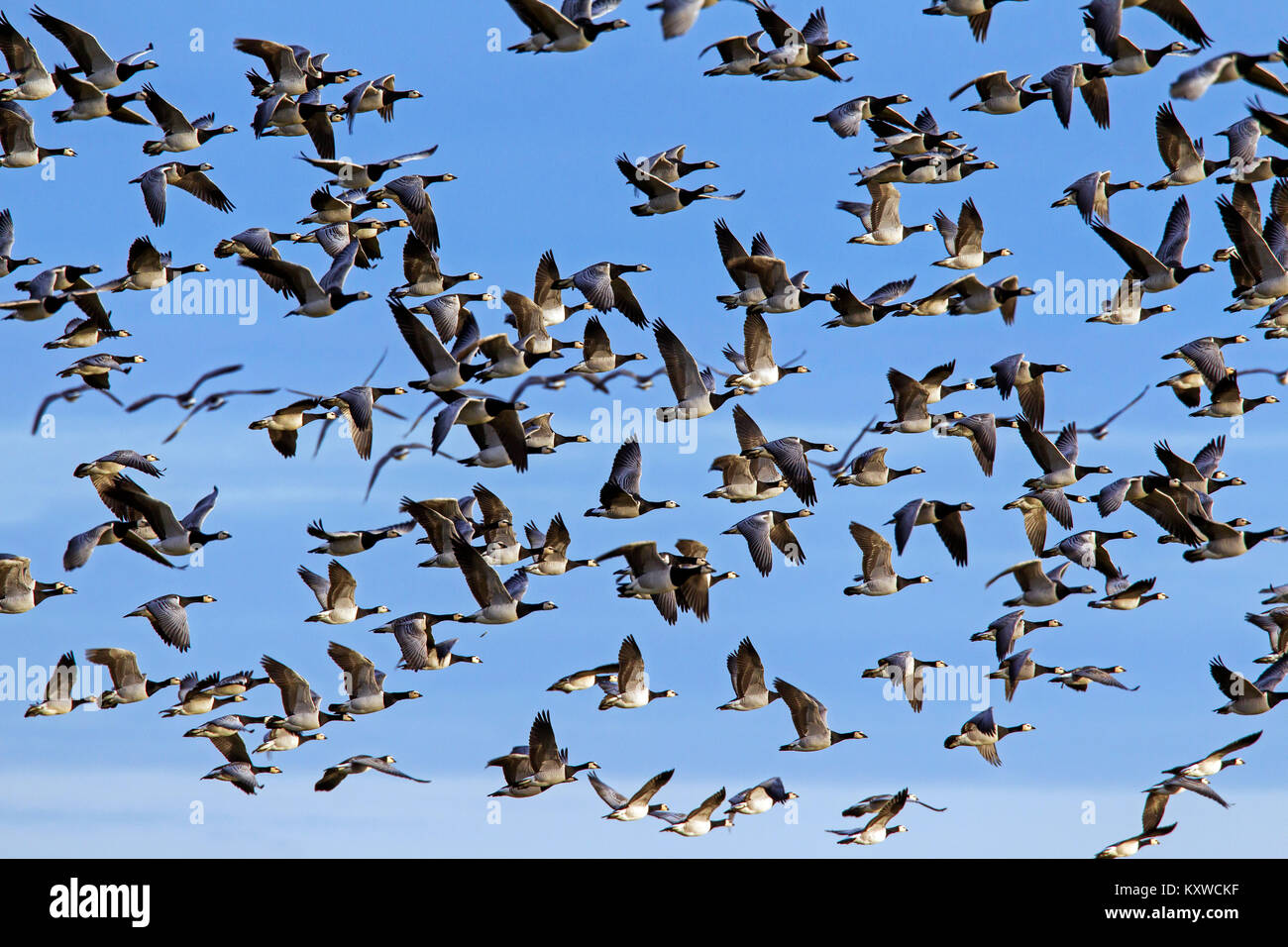 Large flock of migrating barnacle geese (Branta leucopsis) in flight against blue sky - Stock Image