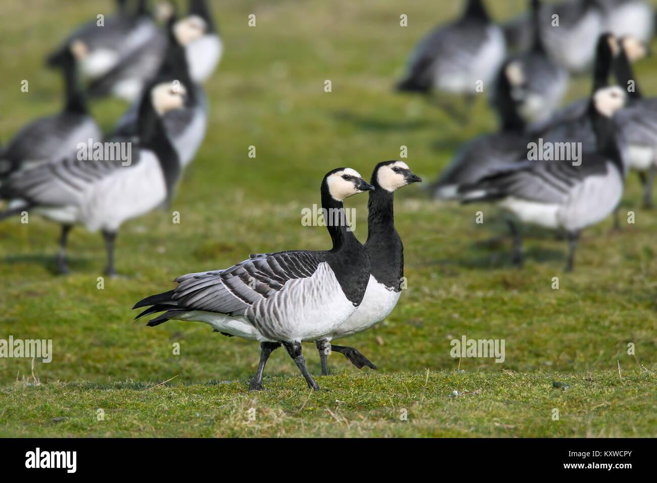 Barnacle goose (Branta leucopsis) flock / barnacle geese group foraging on grassland - Stock Image