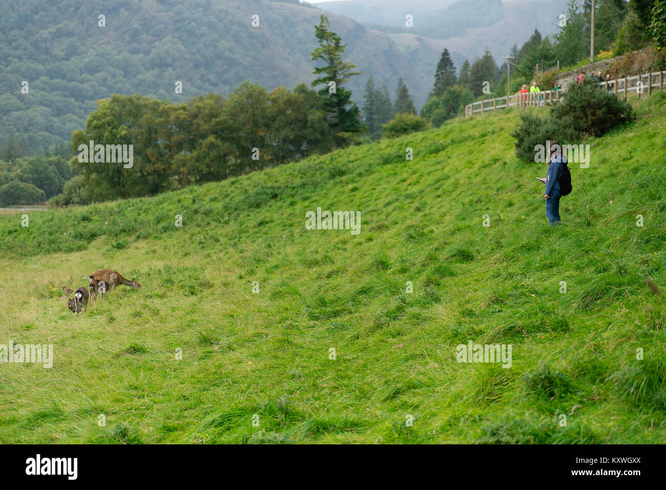 Girl went of the track to get closer and take photograph of the family of Red Deer pasturing in Glendalough Valley, - Stock Image