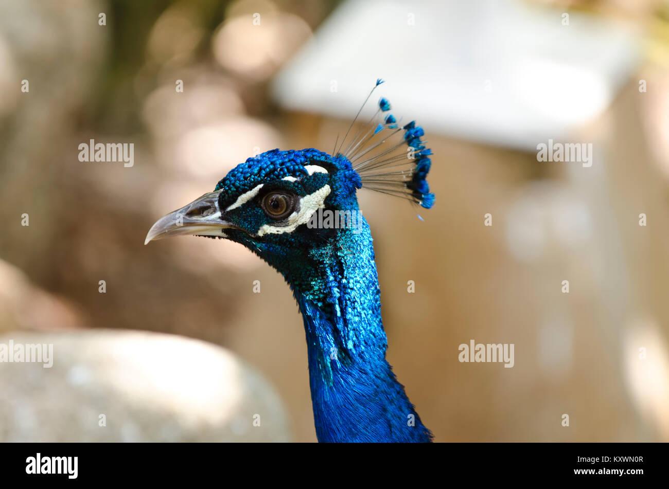 Peacock head portrait. Close-up Stock Photo