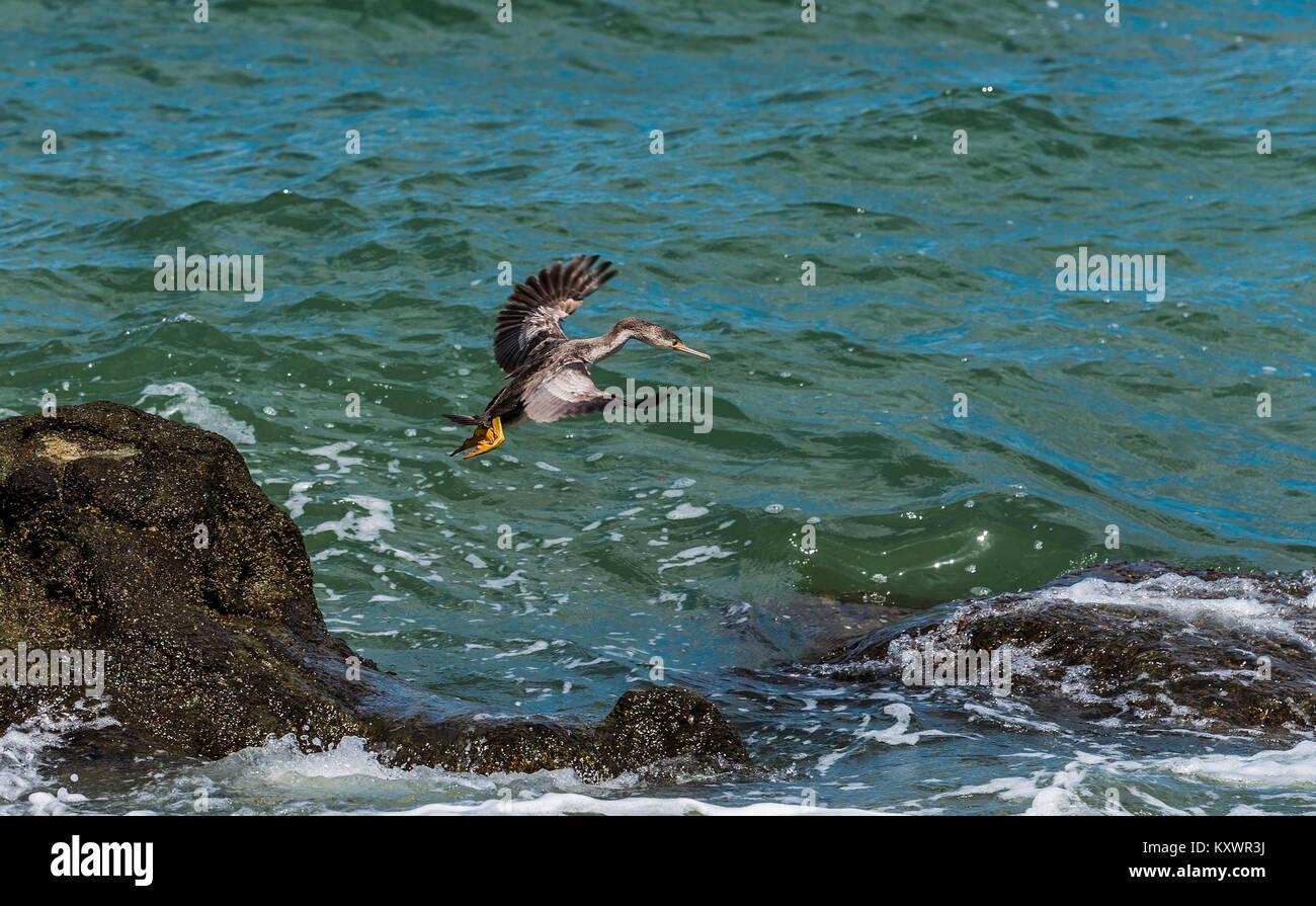 Spotted Shag near Te Mata on Coromandel Peninsula, New Zealand - Stock Image