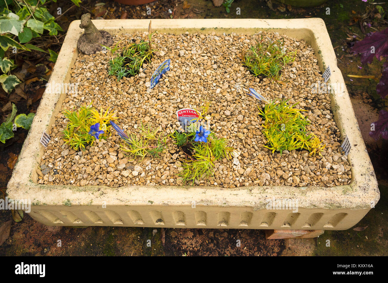 Recycled old sink used as a planter for a small collection of Gentian plants using gravel as a top dressing to proved - Stock Image
