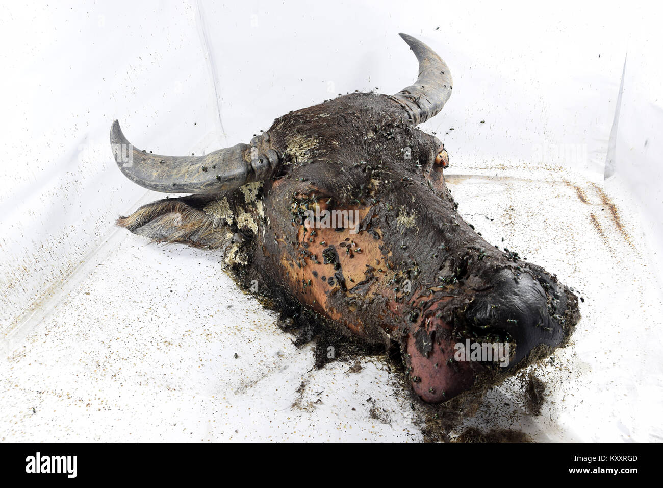 The decomposition process of a buffalo's head - Stock Image