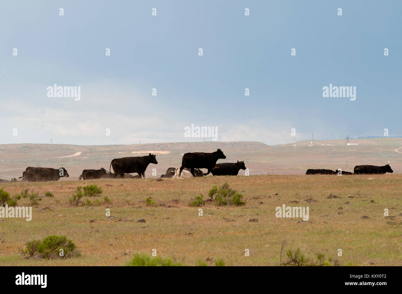 Overgrazing by cattle on public Bureau of Land Management land in SW Idaho - Stock Image