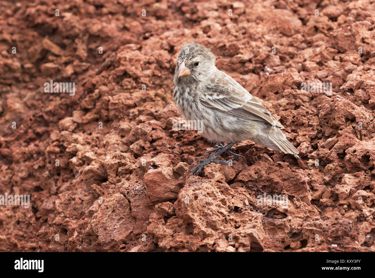 Galapagos Finch or Darwin Finch, Rabida Island, Galapagos Islands Ecuador South America - Stock Image