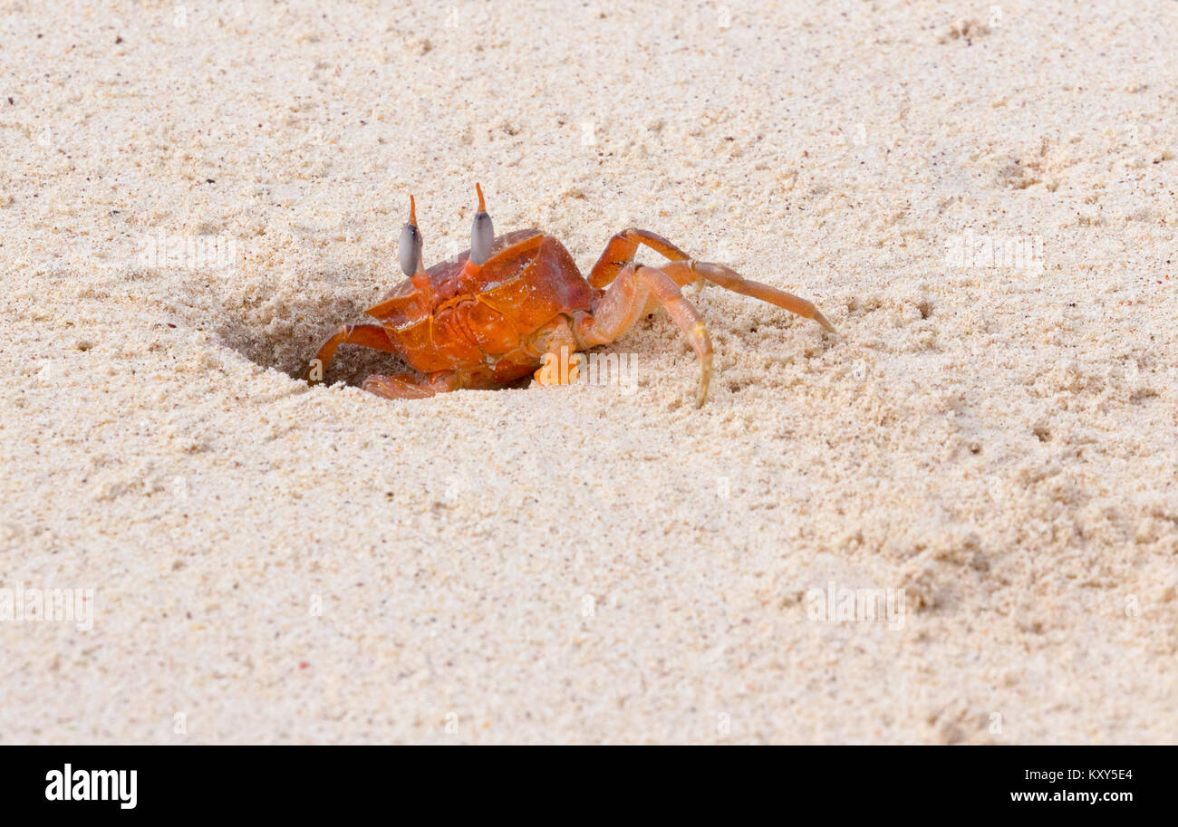 Ghost Crab diving into hole in sand, San Cristobal Island, Galapagos Islands Ecuador South America - Stock Image