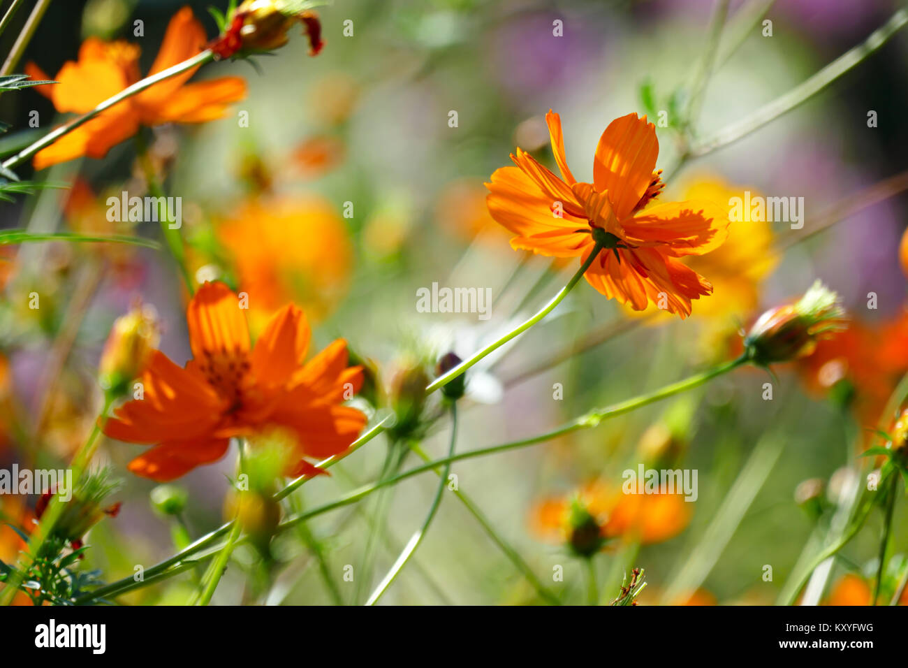 Bright orange flowers violets on the summer flowerbed. Soft focus. Blurring background. - Stock Image
