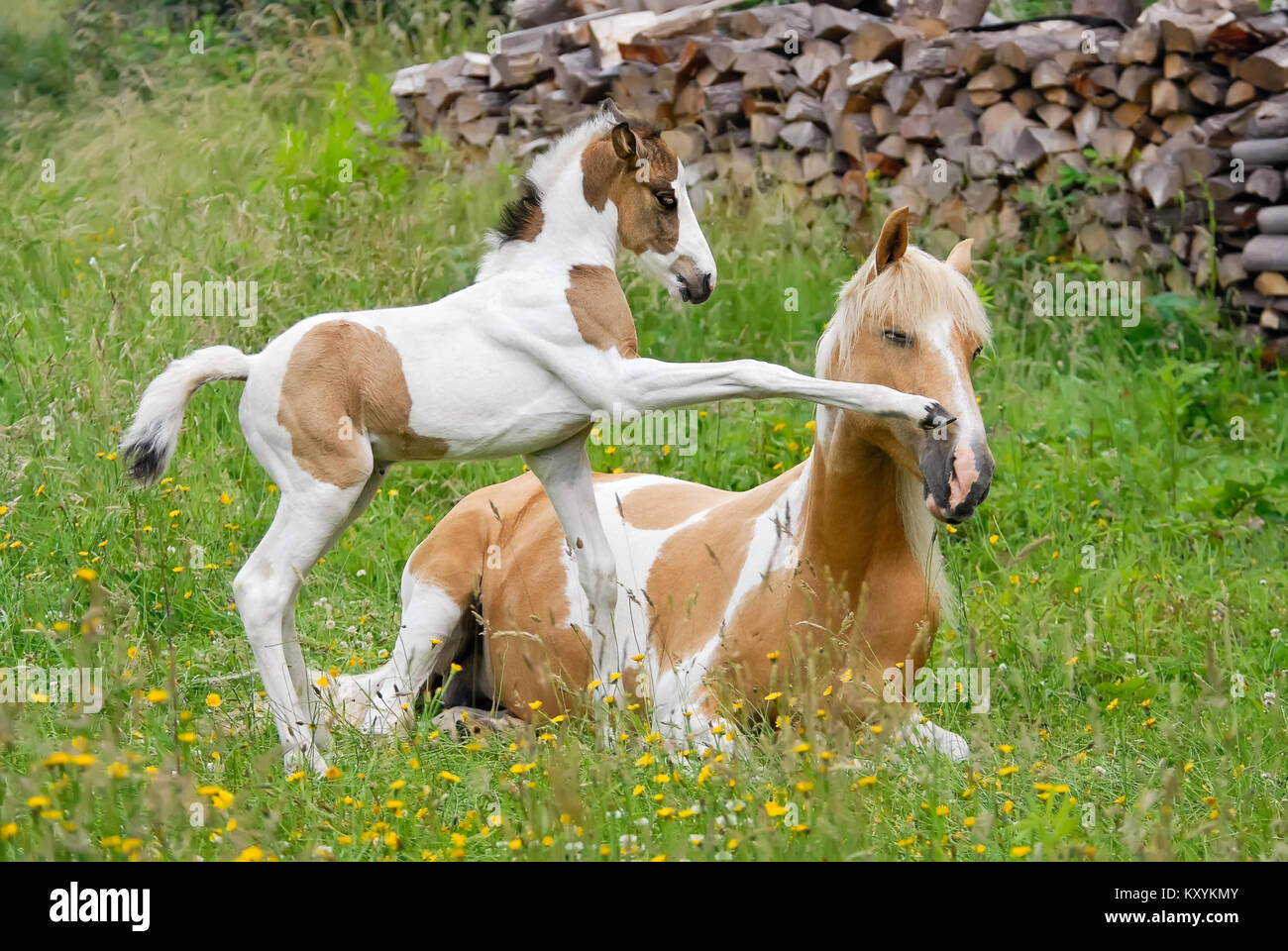Pony foal kicks its mother with its front hoof, it wants to play. Coat color pinto with tobiano patterns also called - Stock Image