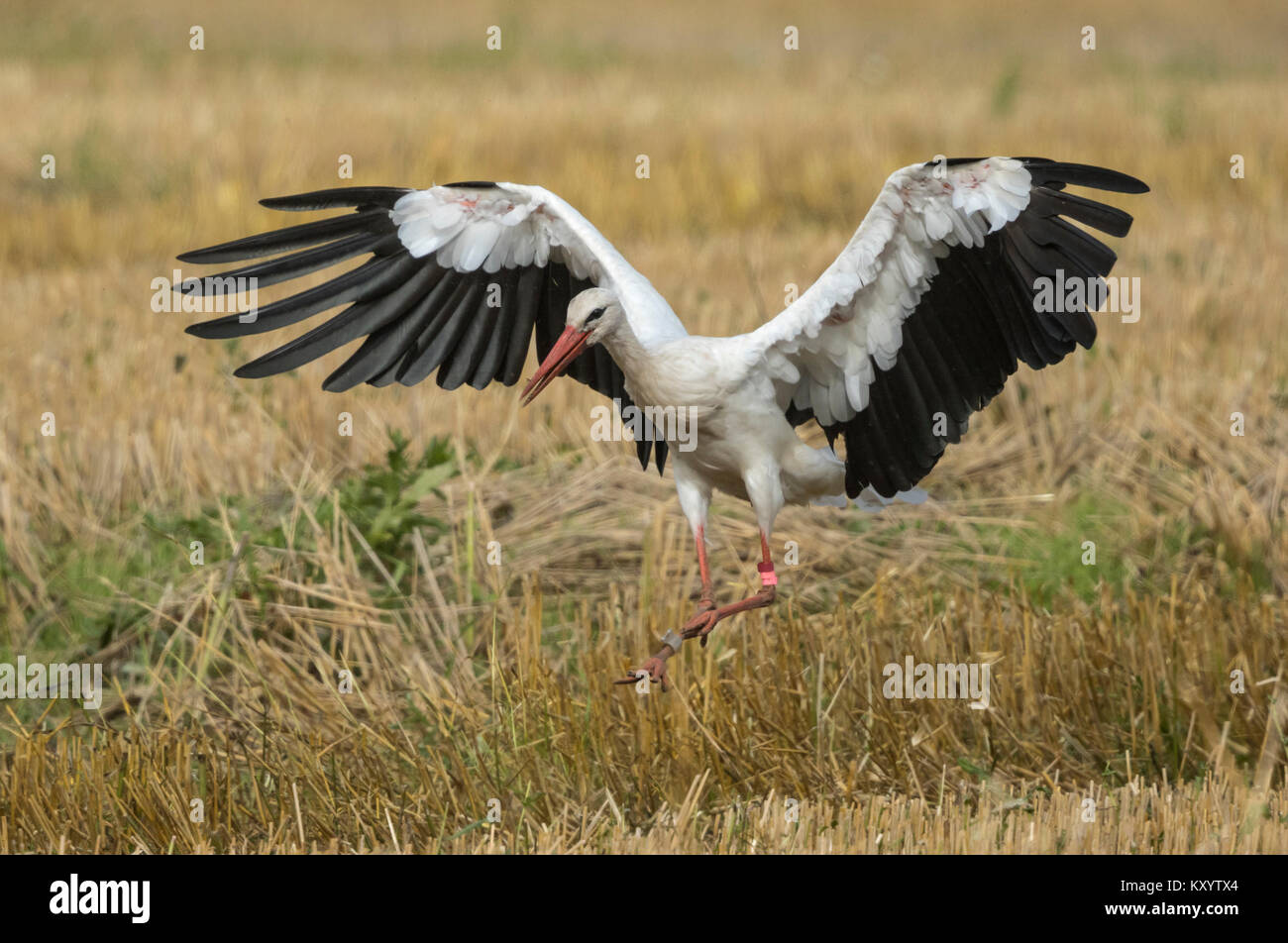 White stork (Ciconia ciconia) in flight over a stubble field - Stock Image