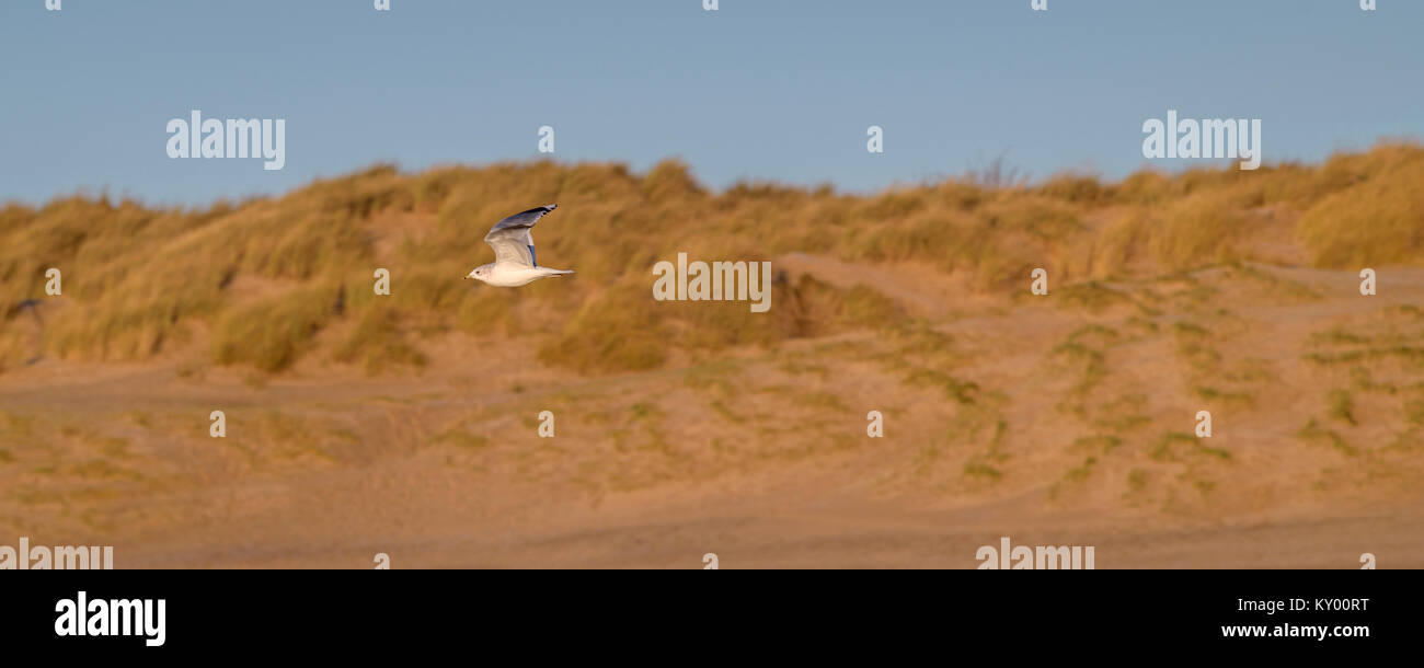 Seagull at Camber Beach in winter sunshine. - Stock Image