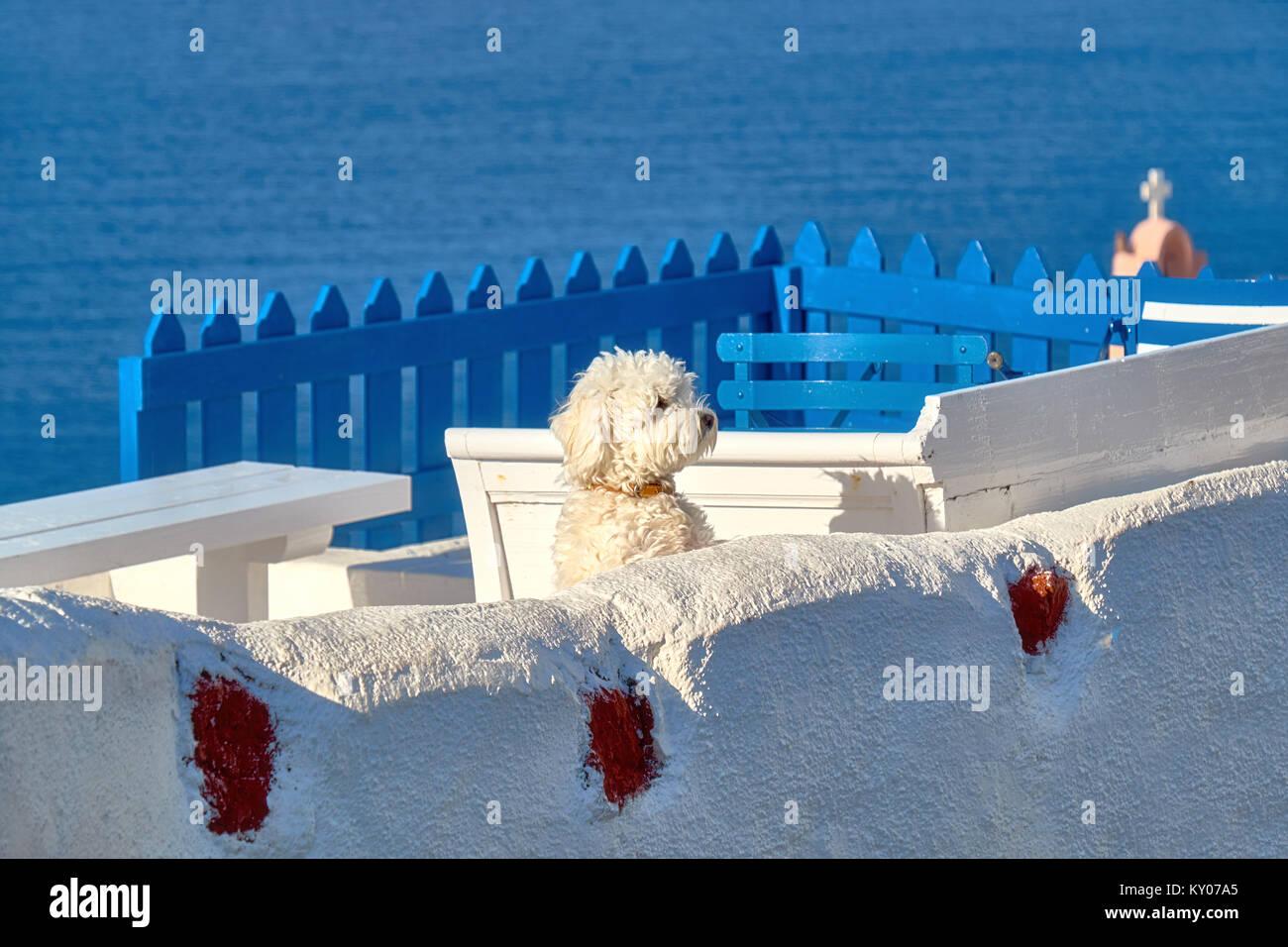 Curious white lapdog on white terrase overooking the sea  in Oia, Santorini, Greece. - Stock Image