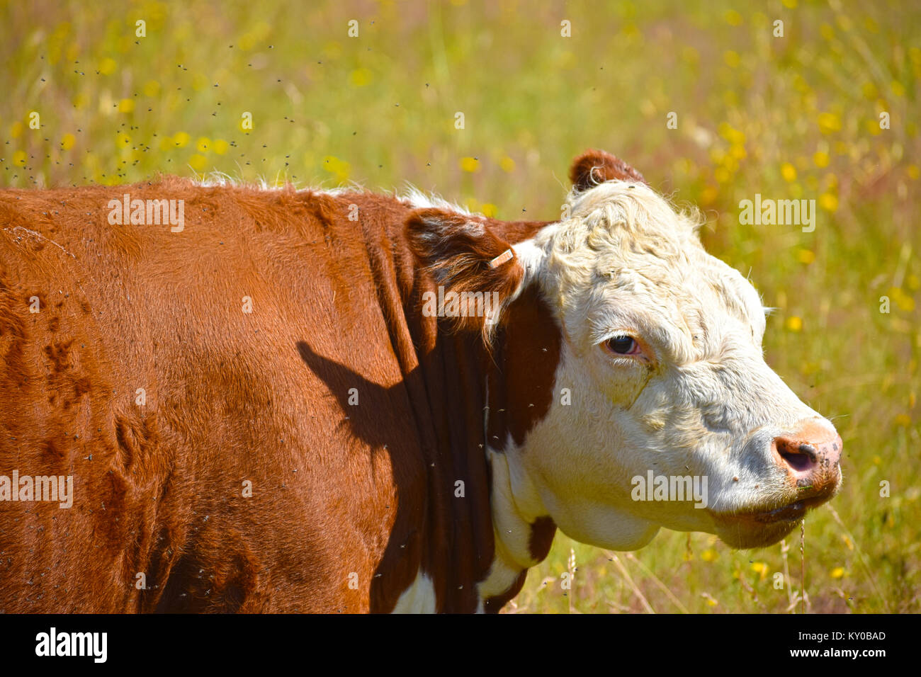 Miserable cow with thousands of flies irritating her - she stands in a blurred field of dandelions. - Stock Image