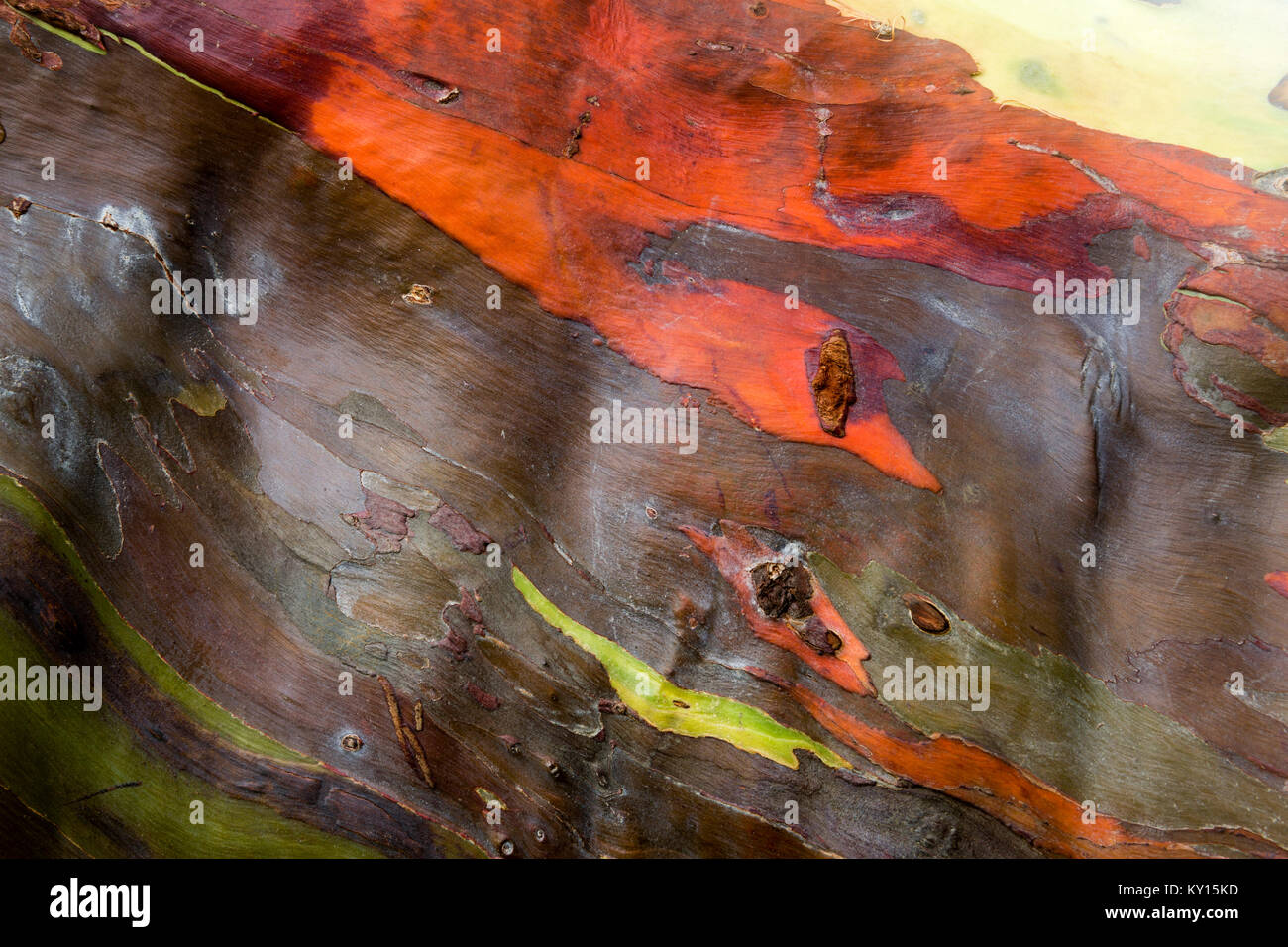 Rainbow eucalyptus (Eucalyptus deglupta) Stock Photo