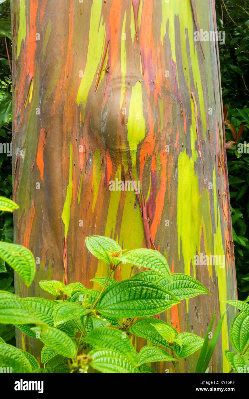 Rainbow eucalyptus (Eucalyptus deglupta) - Stock Image