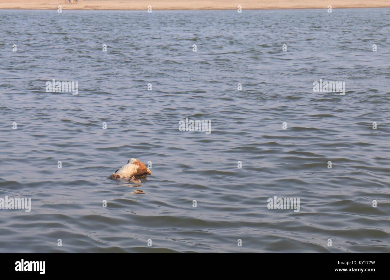 Dead sheep Ganges river pollution Varanasi India - Stock Image