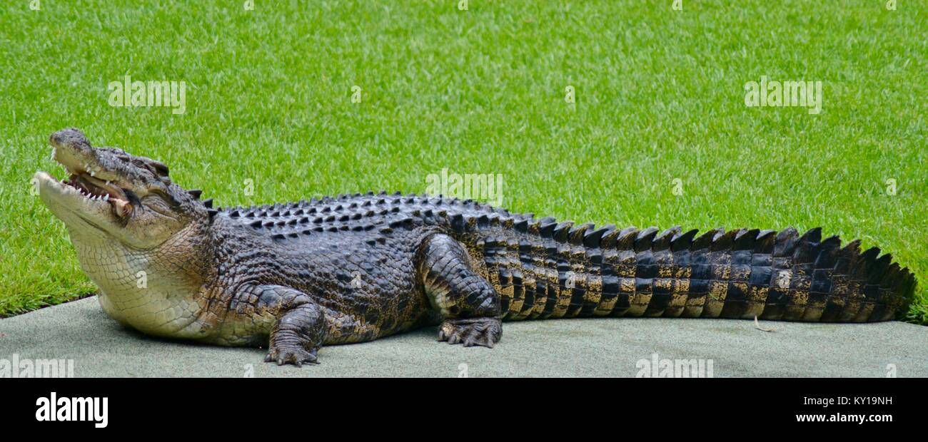 Large saltwater crocodile, Crocodylus porosus, in a show at australia zoo, Australia Zoo, Beerwah, Queensland, Australia - Stock Image