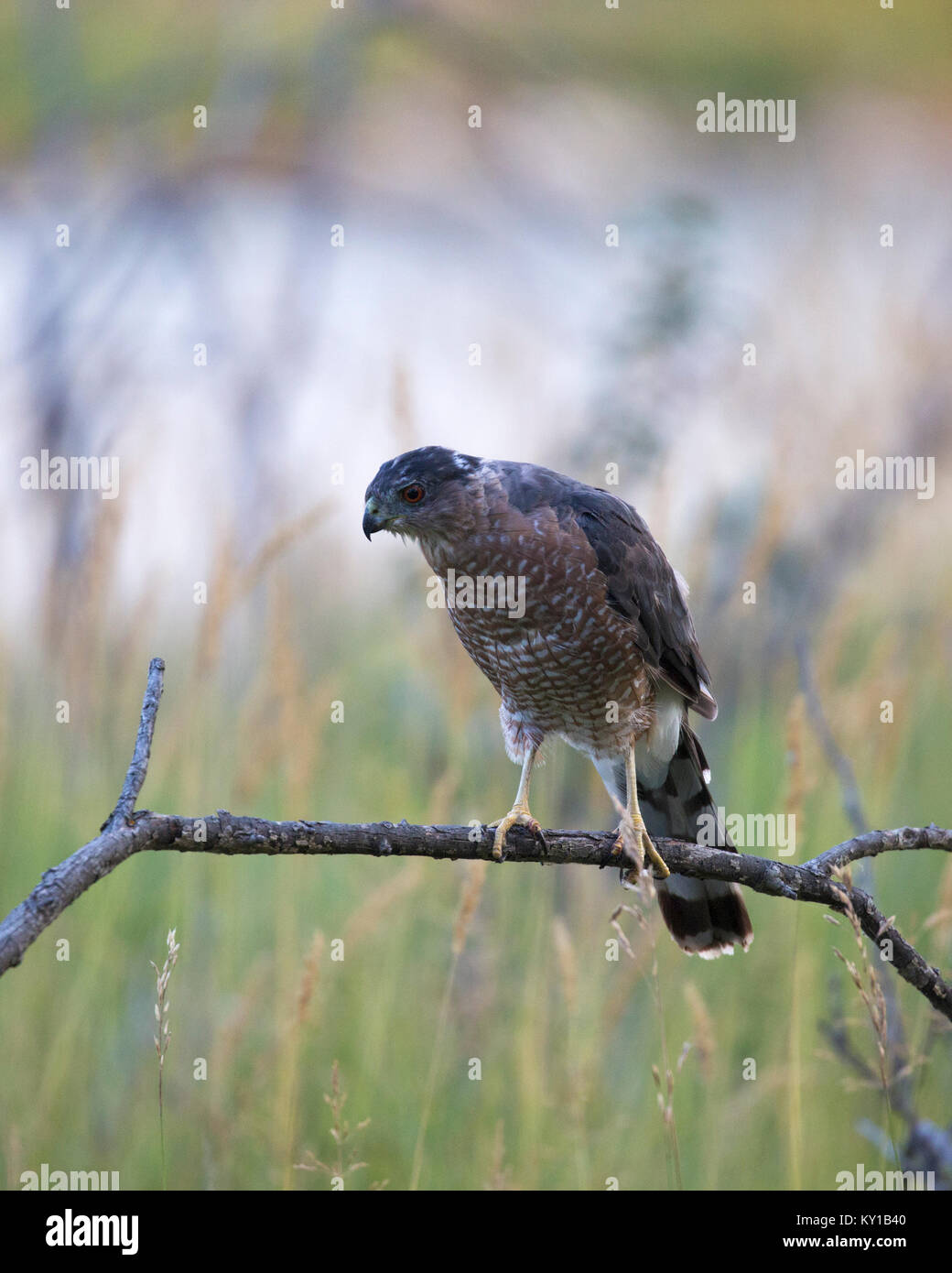 Cooper's Hawk (Accipiter cooperii) hunting from perch on branch - Stock Image