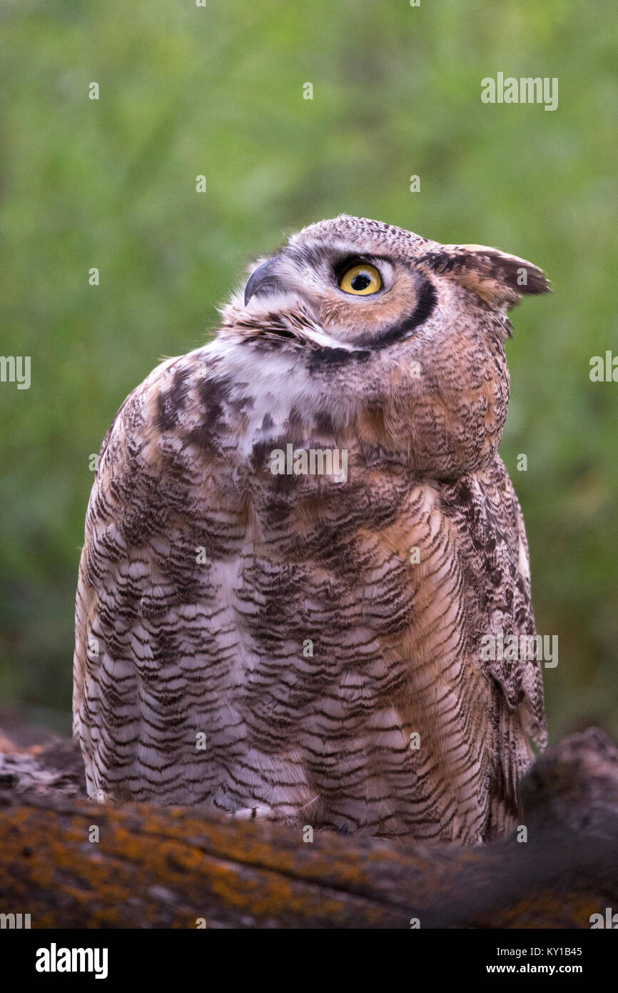 Great Horned Owl (Bubo virginianus) looking upward in forest Stock Photo