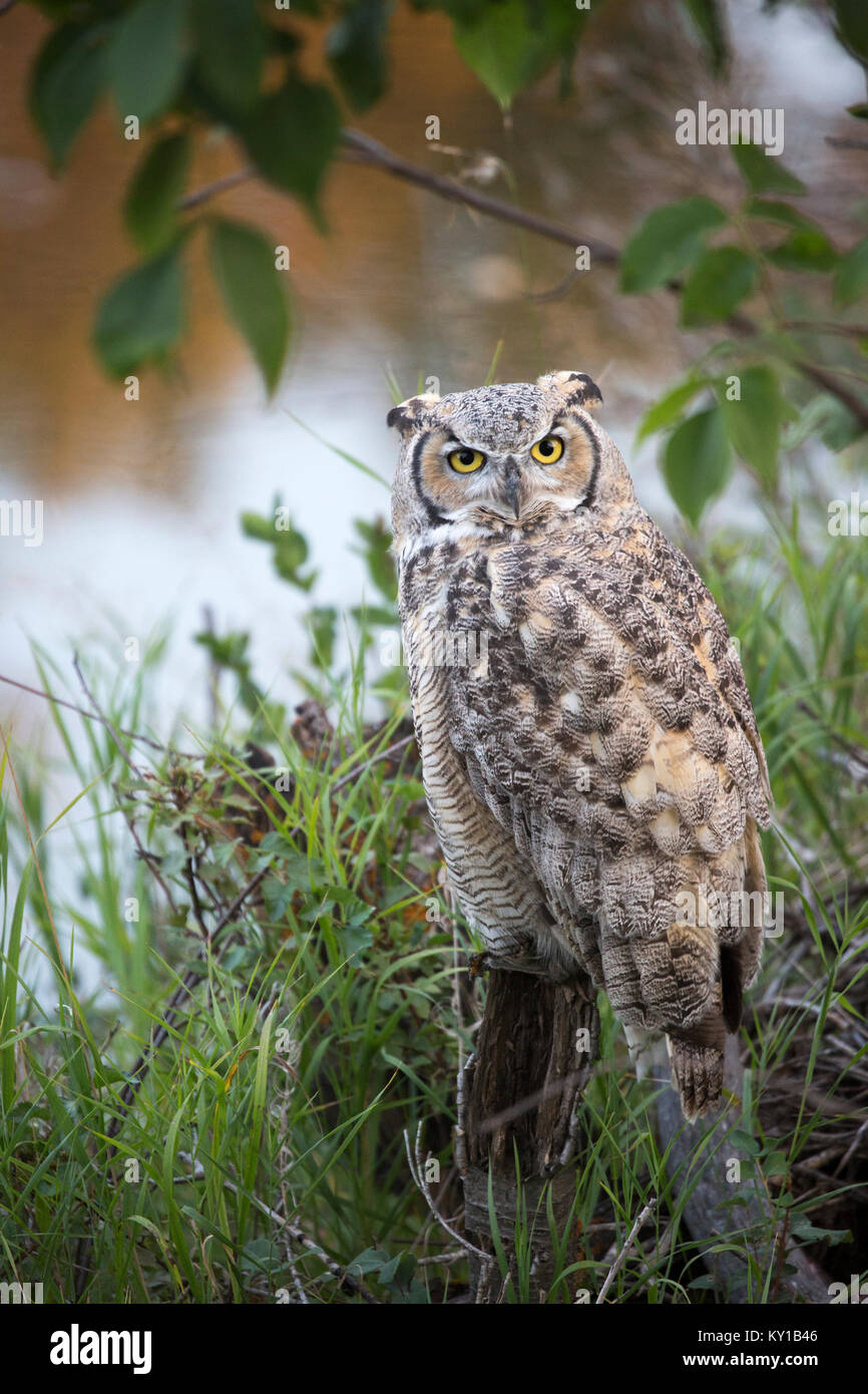 Great Horned Owl (Bubo virginianus) perching on a tree stump at water's edge in riparian forest - Stock Image