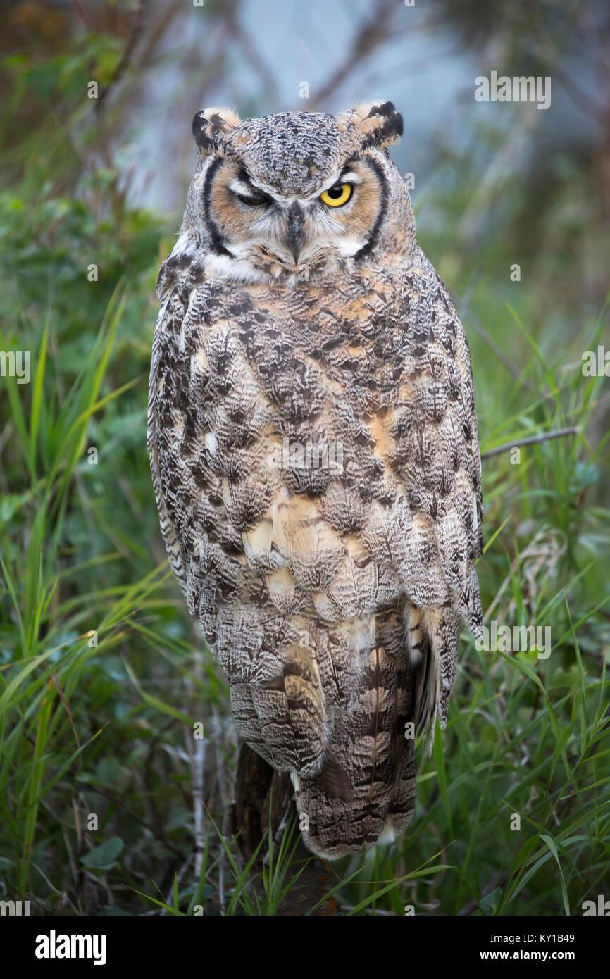 Great Horned Owl (Bubo virginianus) winking - Stock Image