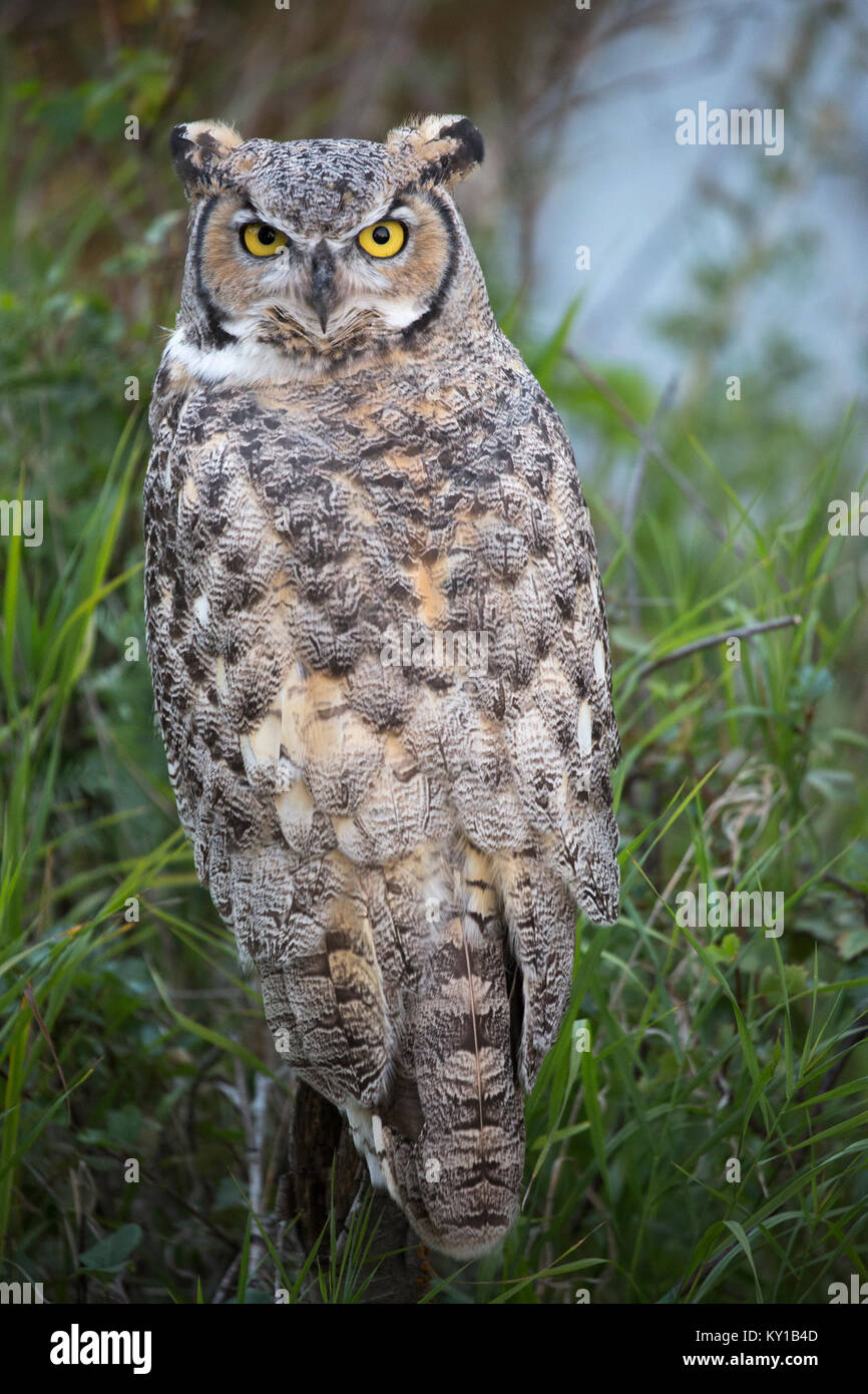 Great Horned Owl (Bubo virginianus) perched on a shrub in riparian forest - Stock Image