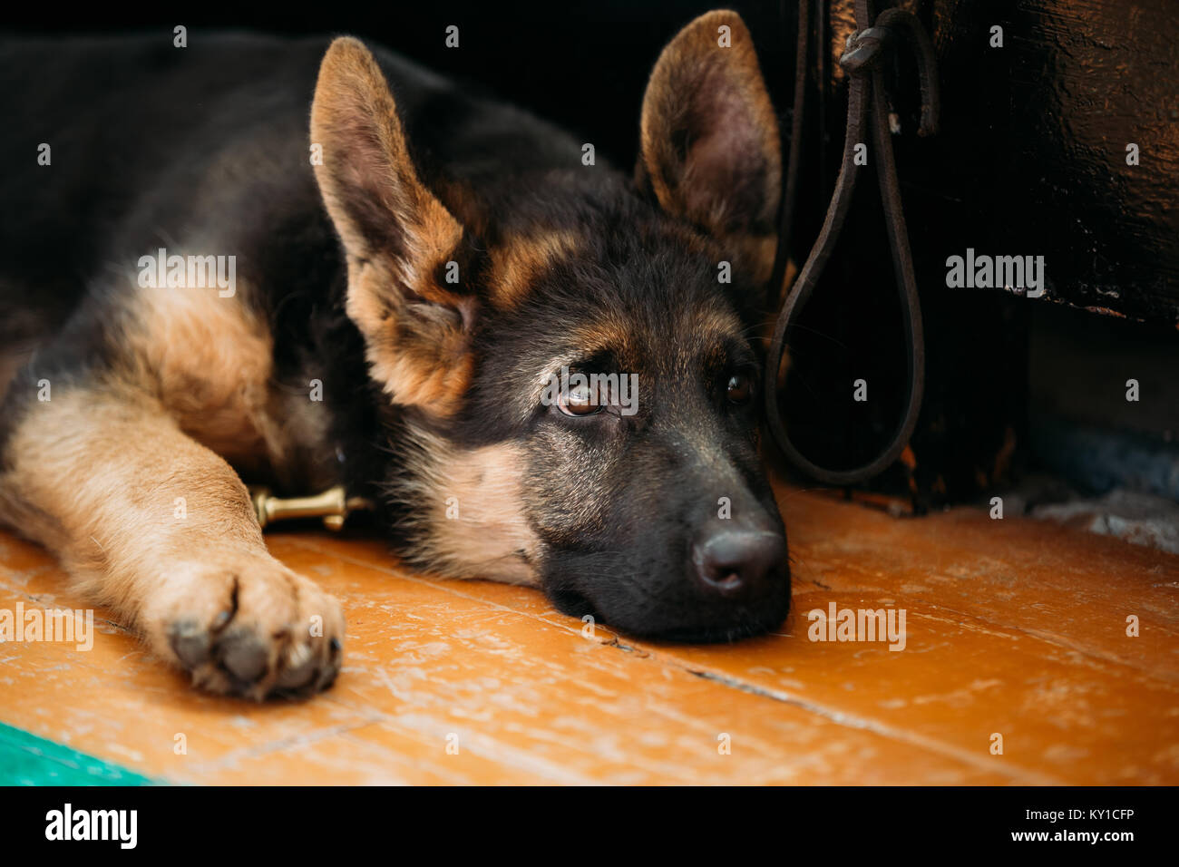 Sad German Shepherd Puppy Stock Photos Sad German Shepherd Puppy