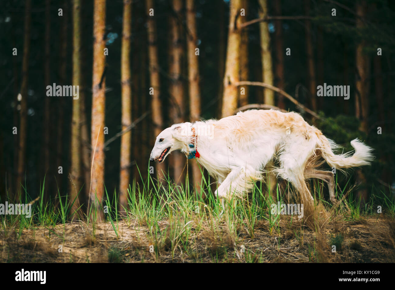 White Russian Borzoi (sighthound, gazehound) hunting dog, running in spring Forest. These dogs specialize in pursuing Stock Photo