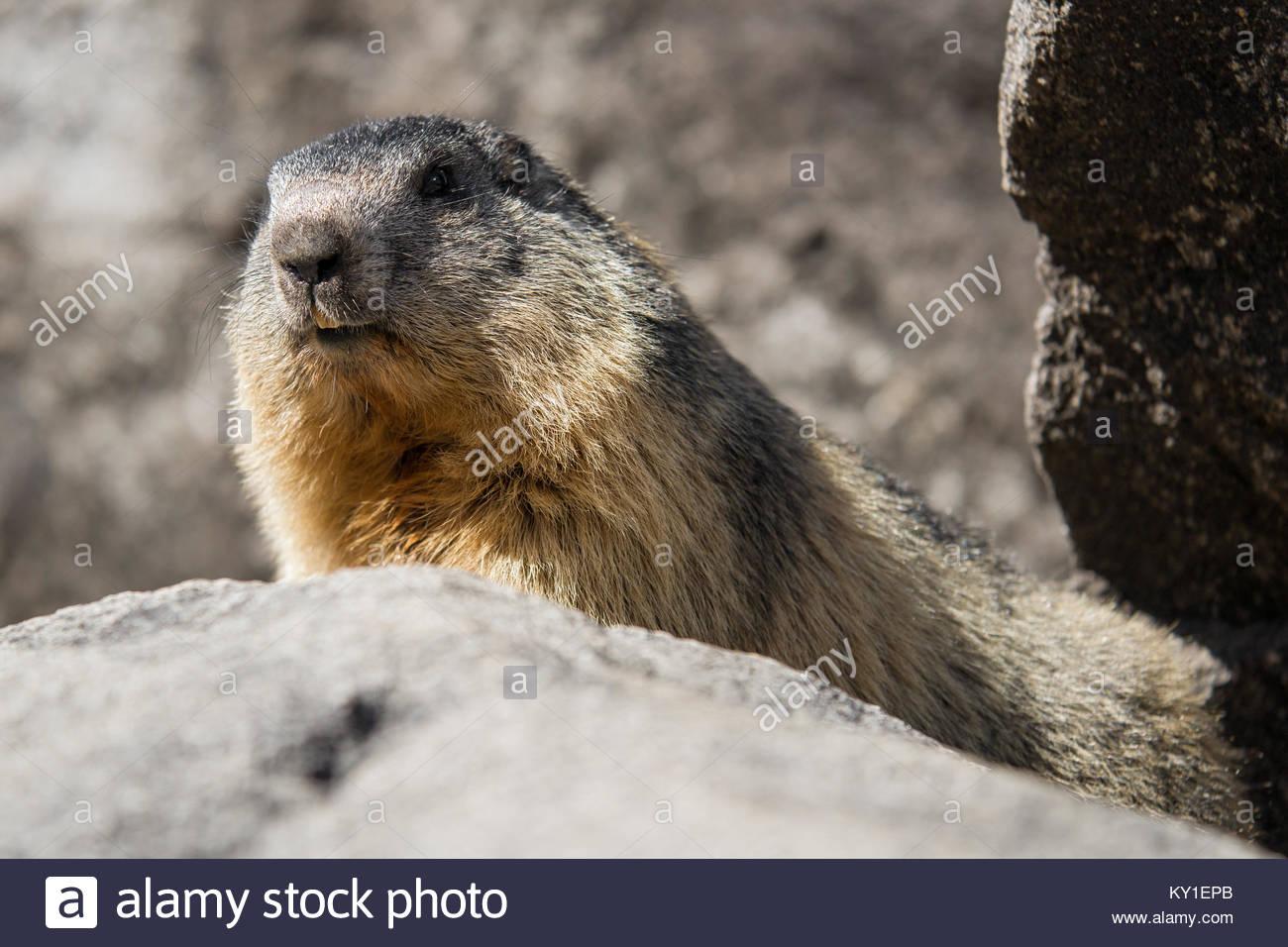 alpine marmot (marmota marmota) Stock Photo
