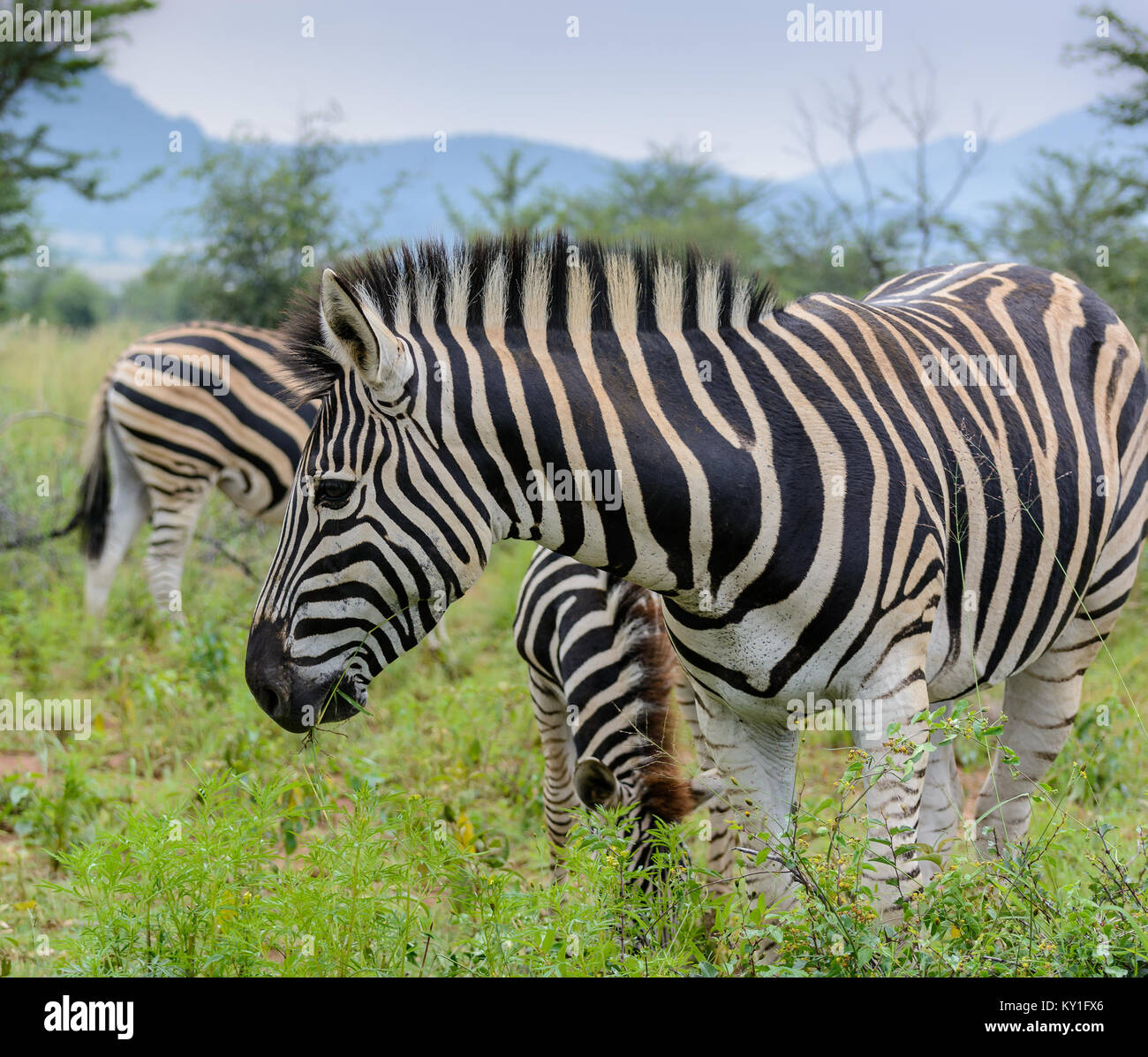 Outdoor color animal portrait of a cute sweet lovely single zebra in front of other zebras with green sunny background - Stock Image