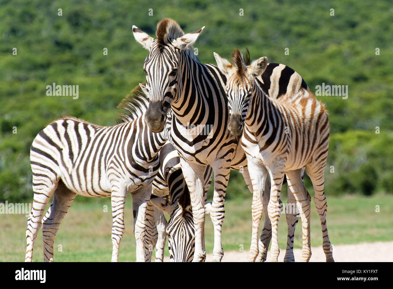 Color portrait of a zebra group in bright sunshine taken in South Africa with natural background on a sunny day Stock Photo