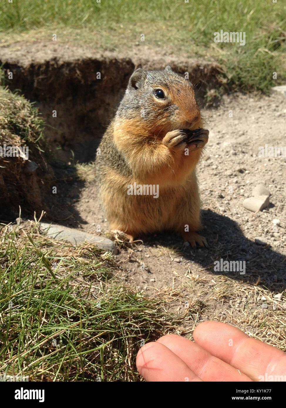 Columbian ground squirrel (Urocitellus columbianus) - Stock Image
