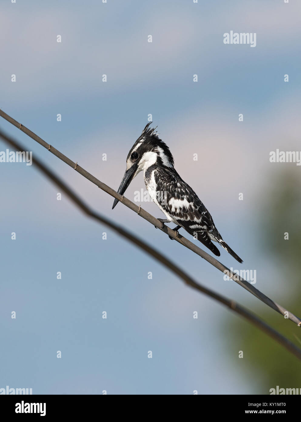 Pied Kingfisher (Ceryle rudis) sitting on a branch in Chobe National Park, Botswana - Stock Image
