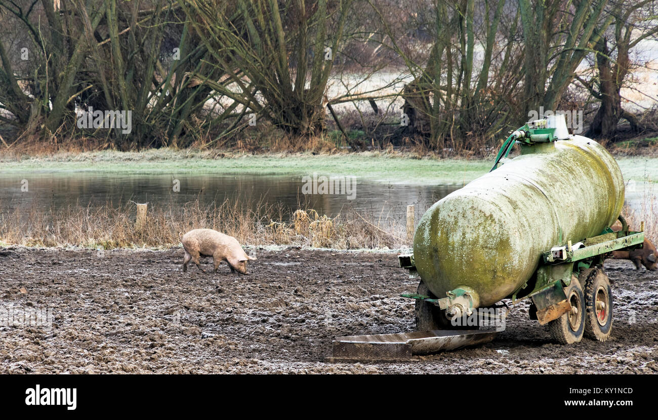 Lucky free-flowing pig looking for food on the banks of a river in Germany - Stock Image