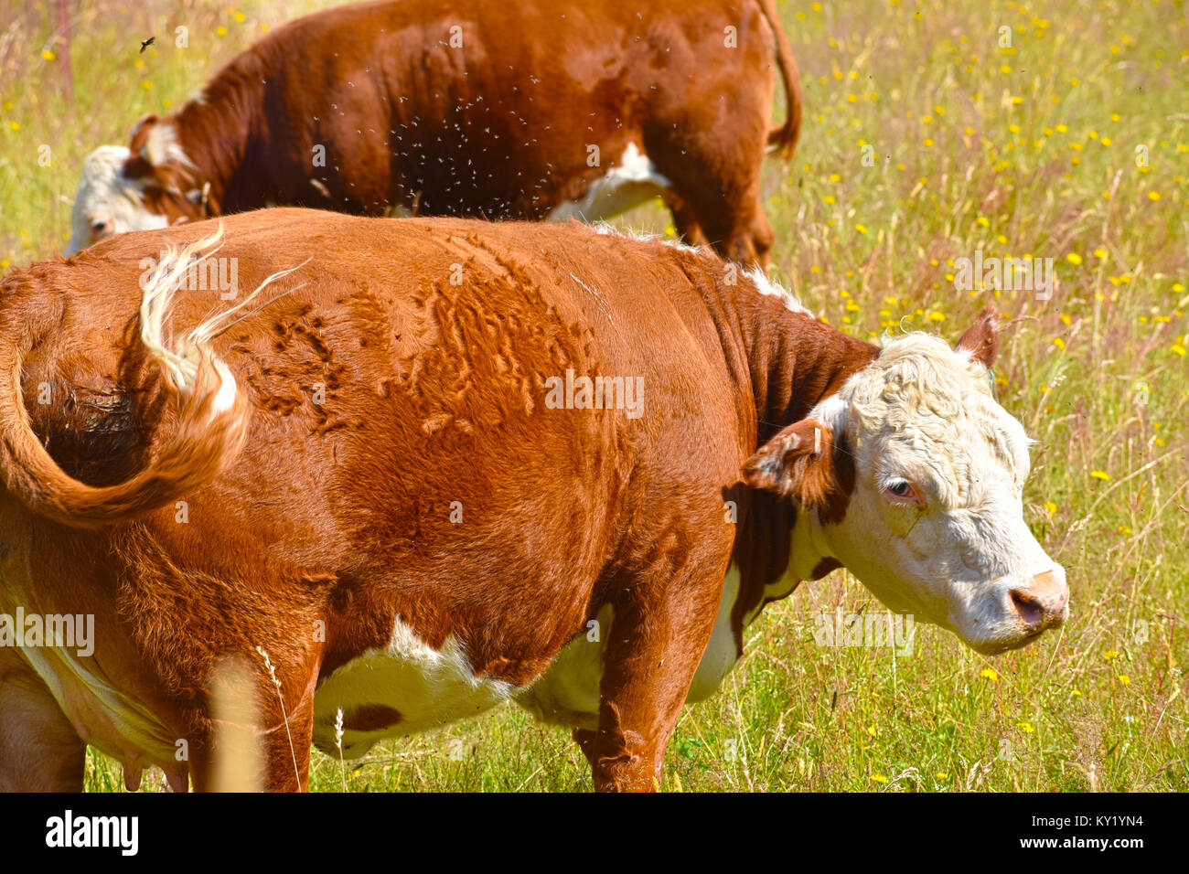 A swarm of flies all over this pregnat cow and she is not happy about it.  Some of the flies are airborne from her - Stock Image