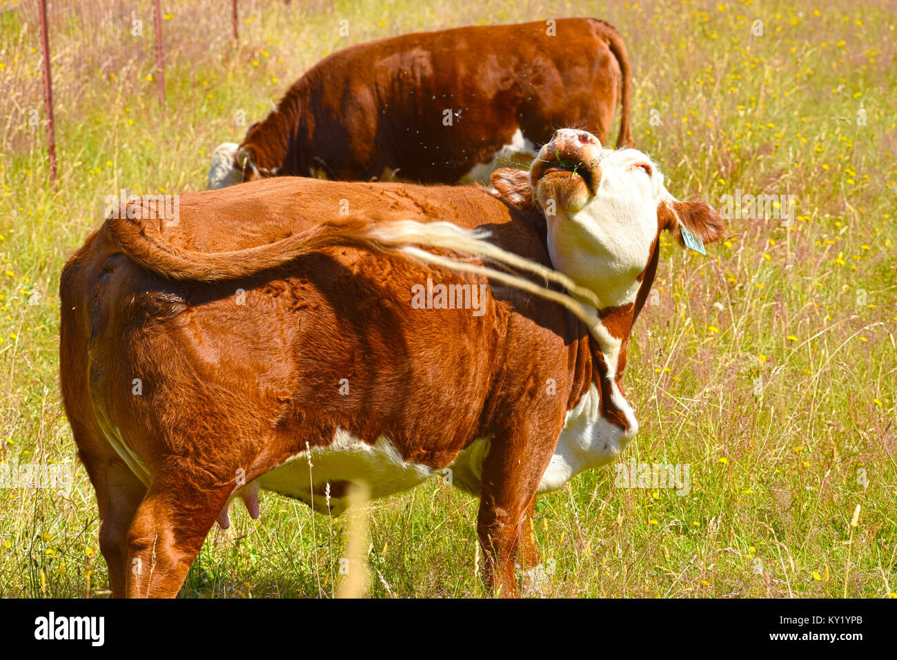 Cow really aggratvated by many flies while trying to swat them with her tail.  She is pregnant.  Her mouth in the - Stock Image